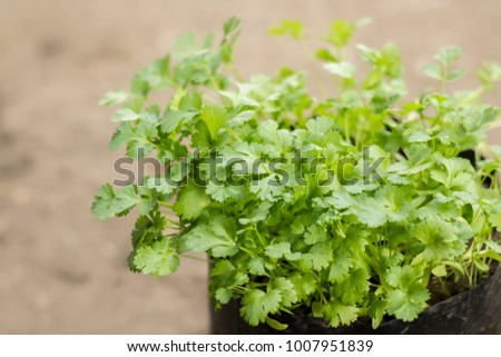 Close up the fresh coriander in nursery bag