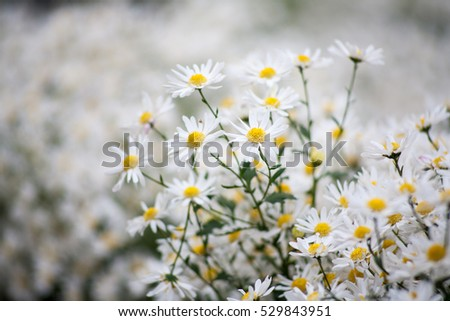 Close up The little daisies.natural background
