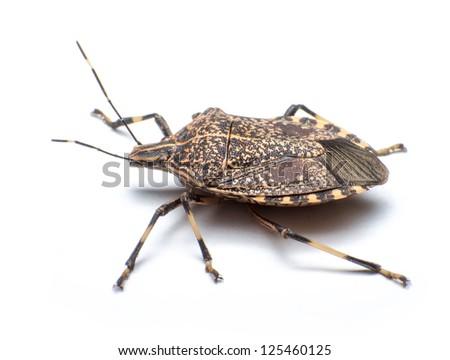Close-up the stinkbug isolated in white background - stock photo