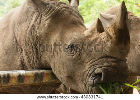 Close up the white rhinoceros eating grass - stock photo