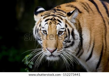 Close Up Tiger - stock photo