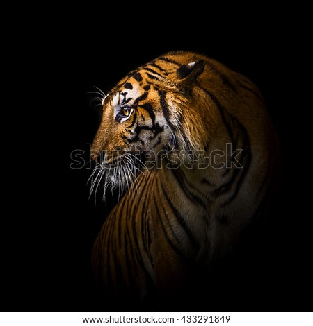 Close up tiger.