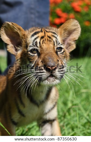 close up Tiger cup - stock photo