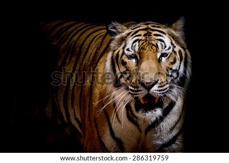 Close up tiger growl - isolated on black background - stock photo