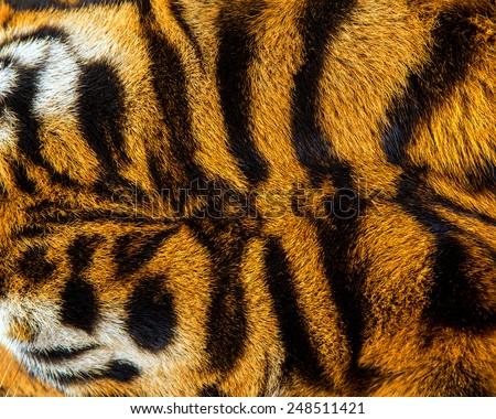 close up tiger skin texture. - stock photo