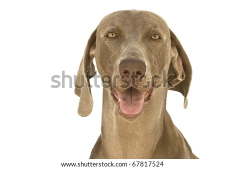 Close-up to a happy dog, purebred hunting Weimaraner, also known as silvery-gray, gray ghost or silver ghost, isolated over white background - stock photo