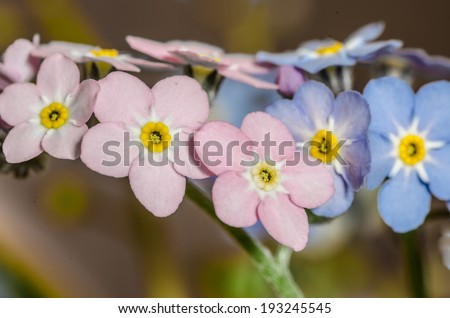 close up to forget-me-mot - small blue and pink flowers - stock photo