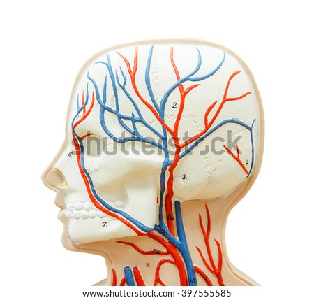 close up to head human model for study medicine isolated on white background, clipping path. - stock photo