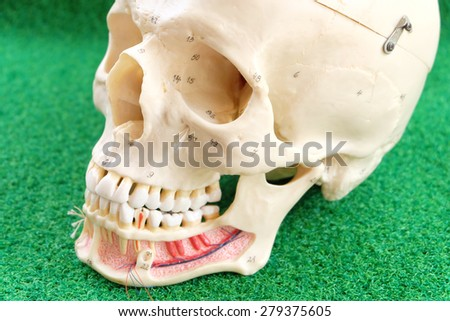 close up to human skull model on green grass background - stock photo