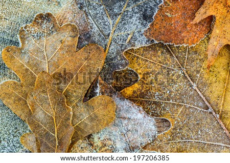 close up to oak leaves covered with hoarfrost - stock photo