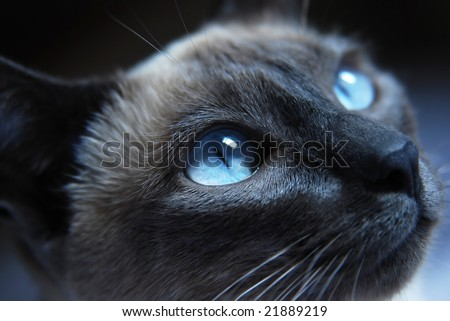 Close up to Siamese cat with blue eyes - stock photo