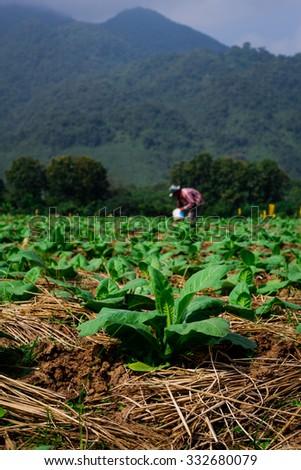 Close up Tobacco plant, Tobacco farm, Young Tobacco plant in field, Farmer manure Tobacco plants - stock photo