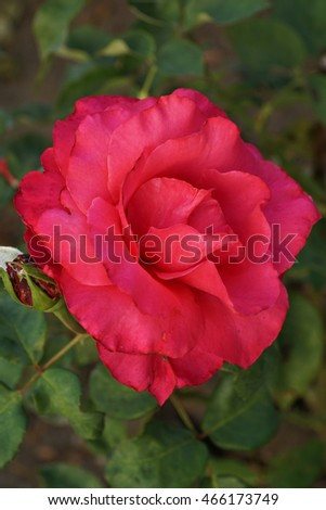 Close up top view of a semi-open bright pink flower varieties Caucasian tea rose with a bud