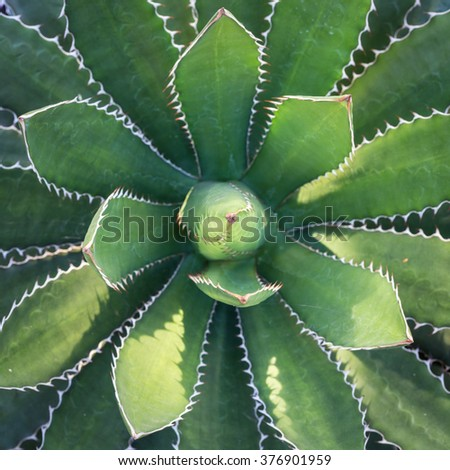 Close up top view of green agave plant in the gardens - stock photo