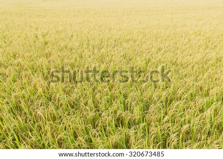 Close up top view rice fields, Rice fields in the tropics - stock photo