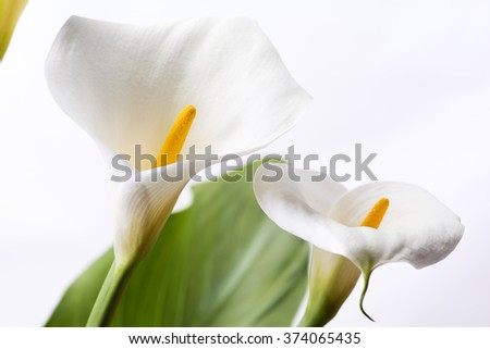Close up two white calla lily flowers in front of white background - stock photo