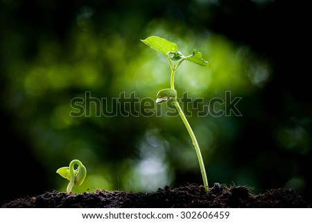 Close up two Young seedling growing on black fertile soil with dew from raining on green bokeh background. Earth day concept - stock photo