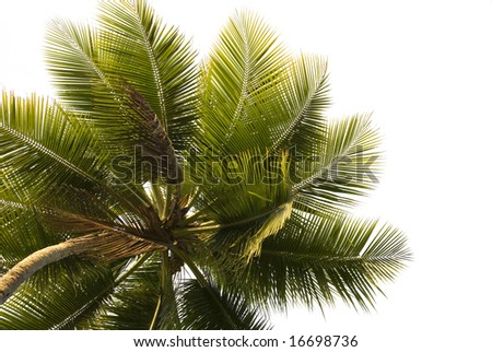 Close up upward view of a lone palm tree isolated on white - stock photo