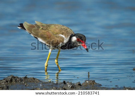 Close up Vanellus indicus (red-wattled lapwing) finding some food in nature of Thailand - stock photo