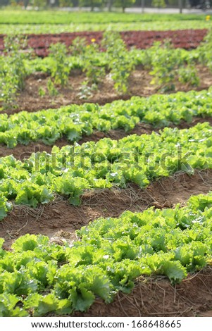 Close up Vegetable grow on the soil in the nature