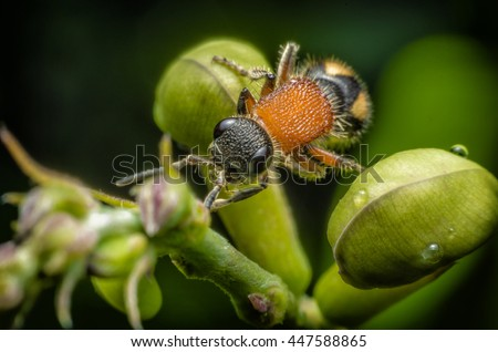 Close up Velvet Ant, Mutillidae , Wingless wasp - stock photo