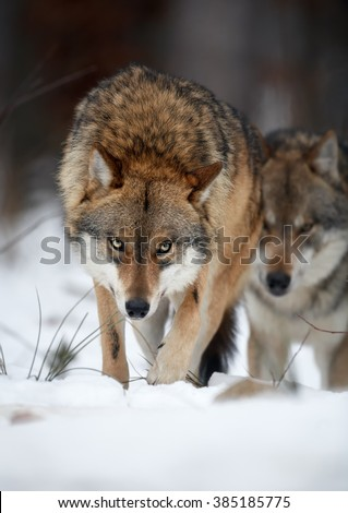 Close up vertical portrait of two wolves Eurasian wolf, Canis lupus in row, on hunt  in winter forest, staring directly at camera against blurred trees in background. Front view. East Europe. - stock photo