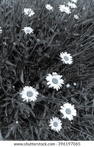 Close-up view a bush of white daisies in full bloom at a rustic old fence post in Sequim, Washington, USA. Daisy in the field, cottage garden. Nature flower background, summer concept. Black and white