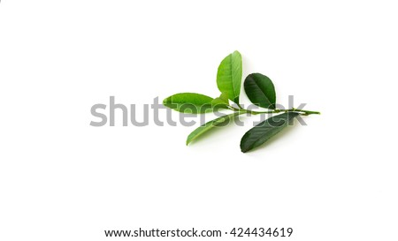 Close-up view a leafy branch of fresh green lemon leaves isolated on white background. Its freshly picked from home growth organic garden. Food concept. Panoramic style.