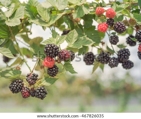 Close-up view blackberries on tree at local organic farm in Texas, US. Fresh ripe and unripe berries ready for harvest. Healthy food concept and agriculture backgroud.