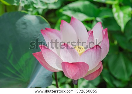Close-up view blooming pink lotus flower (or Nelumbo nucifera Gaertn, Nelumbonaceae, sacred lotus) cultivated in water garden. Lotus is national flower of India and Vietnam. Nature flower background.