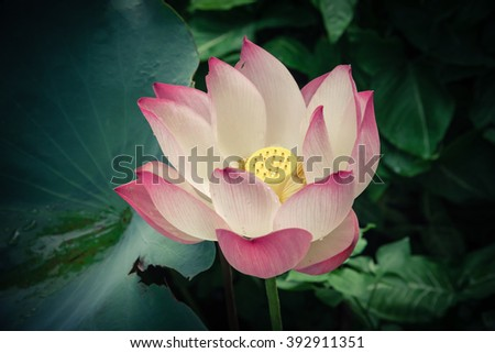 Close-up view blooming pink lotus flower (or Nelumbo nucifera Gaertn, Nelumbonaceae, sacred lotus) cultivated in water garden. Lotus is national flower of India and Vietnam. Flower with vignette added - stock photo