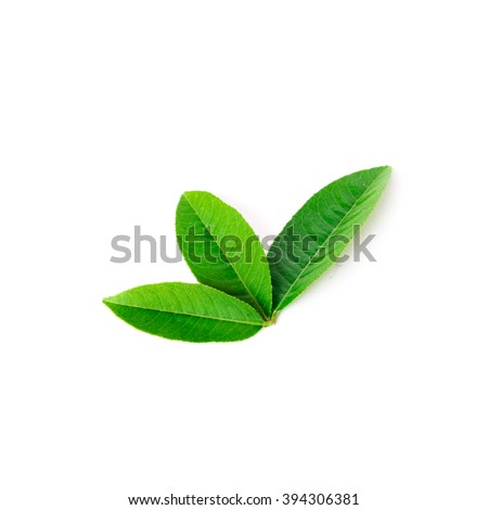 Close-up view collection of fresh green young lemon leaves isolated on white background. Its freshly picked from home growth organic garden. Food concept. - stock photo