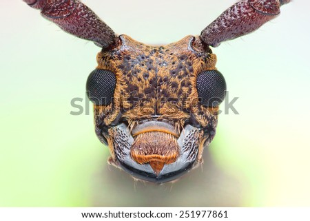 close-up view face of, long horned beetle Gnoma sp. - stock photo