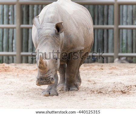 Close-up view forehead of Southern white rhinoceros (Ceratotherium Simum) or rhino in the zoo. It is a big mammal with long horn from Southern Africa and Democratic Republic of the Congo. - stock photo
