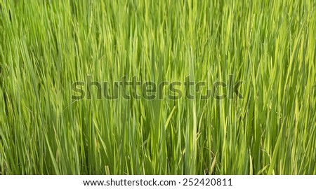 close up view from top of rice plant sapling  - stock photo