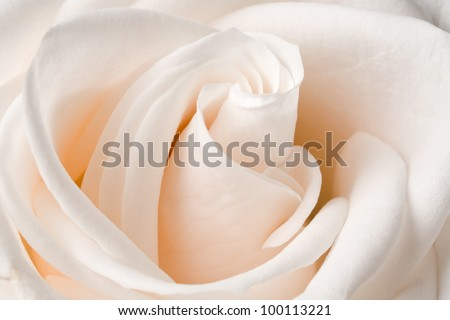 Close up view of a beautiful white rose. - stock photo
