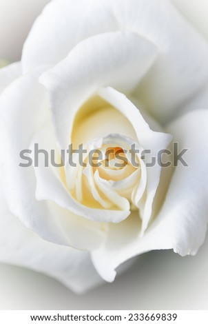 Close up view of a beautiful white rose. Macro image of white rose - stock photo