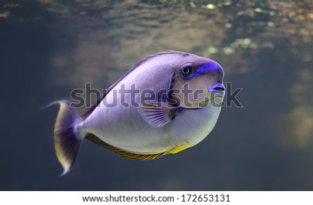 Close-up view of a bignose unicornfish  (Naso vlamingii)  - stock photo