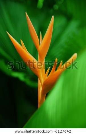 Close-up view of a bird of paradise flower.Vibrant colours. - stock photo