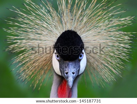 Close-up view of a Black Crowned Crane (Balearica pavonina) - stock photo