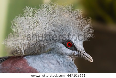 Close-up view of a Blue Crowned Pigeon (Goura cristata) - stock photo