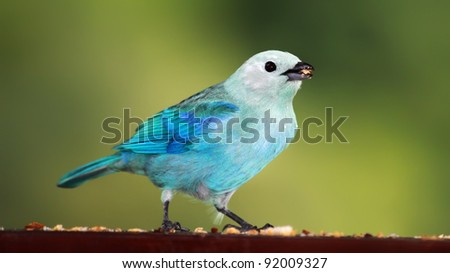 Close-up view of a Blue-grey Tanager (Thraupis episcopus), Tobago - stock photo
