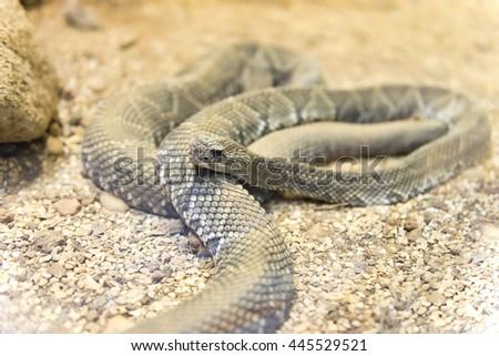 Close up view of a Brazilian Rattlesnake  (Crotalus viridis helleri durissus) - stock photo