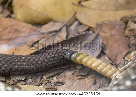 Close up view of a Brazilian Rattlesnake tail rattle detail (Crotalus viridis helleri durissus) - stock photo