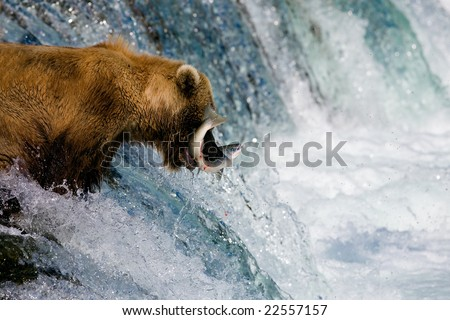 Close up view of a Brown Bear catching salmon