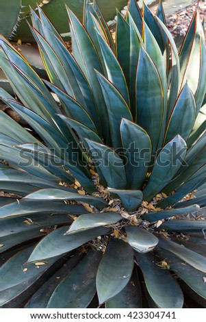 Close-up view of a butterfly agave cactus