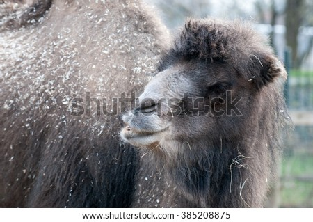 Close up view of a camel chewing some hay - stock photo