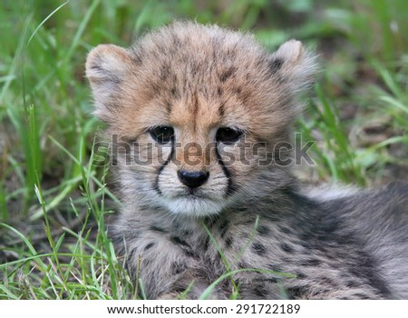 Close-up view of a Cheetah cub 04 - stock photo