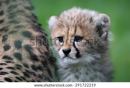 Close-up view of a Cheetah cub  - stock photo