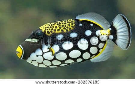 Close-up view of a Clown triggerfish (Balistoides conspicillum) - stock photo